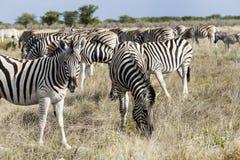 Raduni le zebre delle pianure, il parco nazionale di Etosha, Namibia Immagini Stock Libere da Diritti