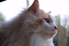 Raduno Thor, il gatto di Ragdoll immagini stock libere da diritti