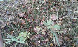 Radura con i funghi Fotografia Stock