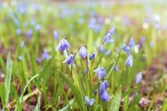 Radura con i primi fiori di porpora della molla Immagine Stock Libera da Diritti