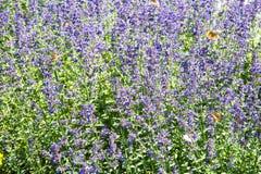Radura dei fiori lilla della lavanda un chiaro giorno soleggiato Fuoco selettivo immagine stock libera da diritti
