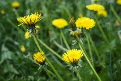 Radura del dente di leone dei fiori dandelions Fotografia Stock Libera da Diritti