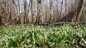 Radura della foresta con la fioritura del Galanthus archivi video