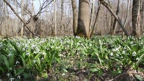 Radura della foresta con la fioritura del Galanthus stock footage