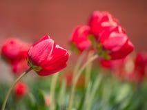 Radura fresca dei tulipani Fondo rosso dei tulipani Gruppo di tulipani rossi i Fotografia Stock