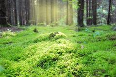 Radura nella foresta, coperta di muschio umido denso immagini stock