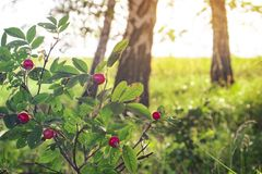Radura sui precedenti della foresta della betulla fotografia stock libera da diritti