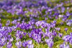 Radura variopinta della molla in villaggio carpatico con i campi dei croco di fioritura Fotografie Stock