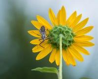 Radwanze (Arilus cristatus) auf Sonnenblume Lizenzfreie Stockfotografie