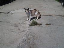 rady的猫保卫她的儿童小猫 免版税图库摄影