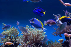 Raf koralowa ryba Zdjęcia Royalty Free