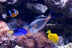 Raf koralowa ryba Obrazy Royalty Free