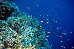 rafa koralowa Obrazy Royalty Free