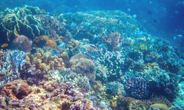 Rafa koralowa i dascillus ryba na dennym dnie Grże błękitnego dennego widok z czystą wodą i światłem słonecznym Zdjęcie Royalty Free