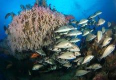 Rafa koralowa ryba Fotografia Royalty Free