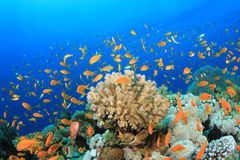 Rafa Koralowa Scena Zdjęcia Stock
