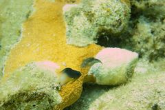 Rafa Koralowa, tropikalna ryba i oceanu życie w morzu karaibskim, Obraz Stock