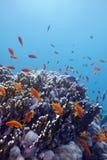 Rafa koralowa z ciężkimi koralami i egzotem łowi anthias przy dnem tropikalny morze na błękitne wody tle Zdjęcia Royalty Free