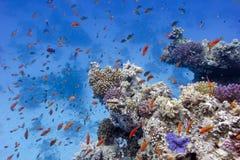 Rafa koralowa z miękkimi i ciężkimi koralami na dnie czerwony morze Fotografia Stock