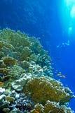 Rafa koralowa z pożarniczymi koralami i egzotem łowi anthias przy dnem tropikalny morze Zdjęcia Royalty Free