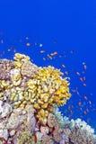 Rafa koralowa z pożarniczymi koralami i egzotem łowi anthias przy dnem tropikalny morze Zdjęcia Stock