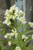 Rafano di fioritura, formato verticale Fotografia Stock
