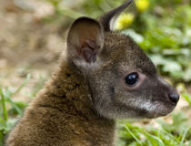 Rafferty the Rufus Wallaby Stock Photography