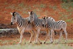 Raffine des zèbres dans l'habitat naturel Images libres de droits
