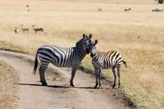 Raffine des zèbres (quagga d'Equus) dans le masai Mara Image stock