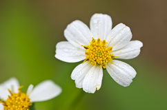 Raffine la fleur blackfoot Image libre de droits