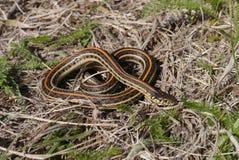 Raffine le serpent de jarretière Images libres de droits