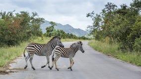 Raffine le z?bre en parc national de Kruger, Afrique du Sud photographie stock libre de droits