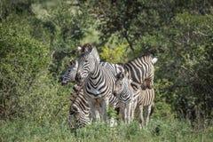 Raffine le z?bre en parc national de Kruger, Afrique du Sud image libre de droits
