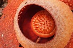 Rafflesia。最大的花在世界上。 库存照片