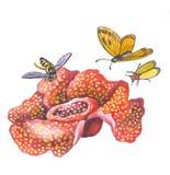 Rafflesia royalty-vrije illustratie