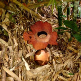 Rafflesia photo stock
