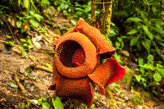 Rafflesia arnoldii in the cameron highlands. On a vine stock image