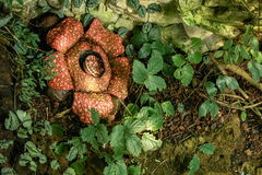 Rafflesia arnoldii. Is the largest individual flower on earth Stock Photos
