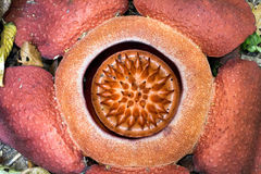 The Rafflesia, biggest flower. The Rafflesia kerrii is the biggest flower in the world, found in Khao Sok national park, Thailand royalty free stock photo