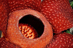 Rafflesia, the biggest flower in the world. Borneo, Malaysia stock photo