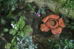 Rafflesia Stock Photography
