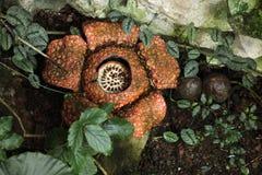 Rafflesia. Stock Photography