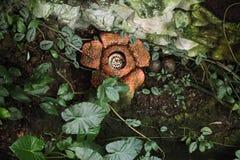 Rafflesia. Royalty Free Stock Photography