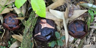 Rafflesia blommablomning royaltyfri fotografi
