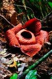 Rafflesia den största blomman i världen Detta art som lokaliseras i Ranau Sabah Borneo malaysia Fotografering för Bildbyråer