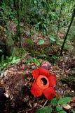 Rafflesia, la plus grande fleur au monde Images stock