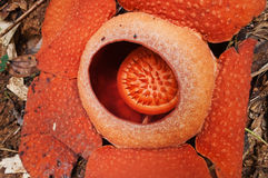 Rafflesia. The largest flower in the world. Royalty Free Stock Photo