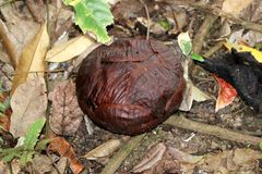 Rafflesia Rafflesia arnoldii flower bud - Borneo Malaysia Asia. Rafflesia Rafflesia arnoldii flower bud - Borneo Sabah Malaysia Asia stock images