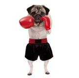 Raffreddi il pugile diritto del cane del carlino che perfora con i guantoni da pugile di cuoio rossi e gli shorts Immagini Stock