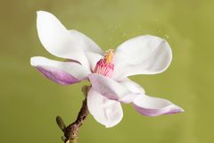 Raffreddore da fieno che causa polline Immagini Stock Libere da Diritti